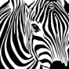 Zebra78