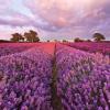 Lavendel29