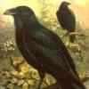 Fuglefrø